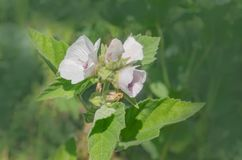 Marsh mallow flower medicinal plant or ornamental plant. White Marshmallow flower. Althaea officinalis in the green meadow Royalty Free Stock Image