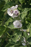 Marsh Mallow. Flowers - Althaea officinalis Stock Photo