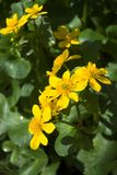Marsh Marigold Royalty Free Stock Images