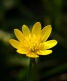 Marsh Marigold Fotografia Stock Libera da Diritti