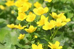 Marsh marigold. Flowers in spring stock photography