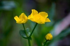 Marsh Marigold Royalty-vrije Stock Fotografie