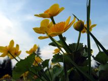 Marsh marigold. Blooming in spring Stock Photography