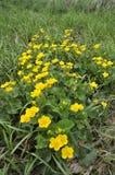 Marsh Marigold Royaltyfria Bilder