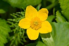 Marsh Marigold Stockbild