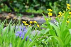 Marsh Marigold Arkivfoto