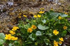 Marsh Marigold blommor (Calthapalustris) är tecknet av våren Arkivbilder