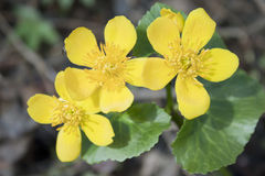Marsh marigold blossoms in April Stock Images