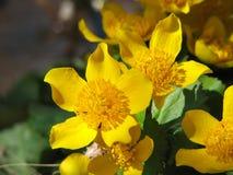 Marsh marigold Stock Photography