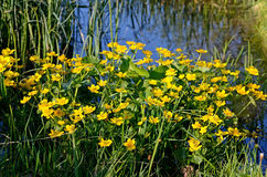 Marsh Marigold (Caltha palustris) Royalty Free Stock Image
