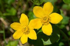Free Marsh Marigold - Caltha Palustris Stock Images - 73077784