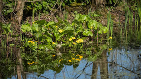 Marsh Marigold Caltha palustris Arkivfoton