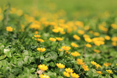 Marsh Marigold (Caltha palustris) Stock Image