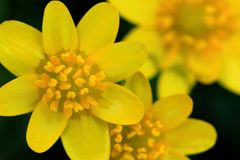 Marsh Marigold (Caltha palustris) Stock Photos