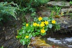 Marsh-marigold on the banks of the creek. Stock Image