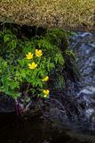 Marsh-marigold. (Caltha palustris) blossoming in a small river underneath a mossy log Stock Image