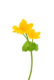 Marsh marigold (Caltha palustris) Royalty Free Stock Images