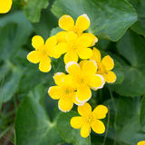 Marsh Marigold, Caltha palustris on the Faroe Islands Royalty Free Stock Images
