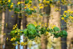 Marsh Marigold in a flooded forest royalty free stock image