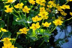 Marsh Marigold flowers. Marsh Marigold Caltha palustris flowers stock photos