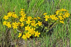 Marsh Marigold flowers. Marsh Marigold Caltha palustris flowers royalty free stock photography