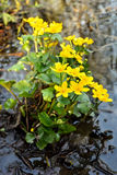Marsh Marigold (Caltha palustris) flowers Royalty Free Stock Photo