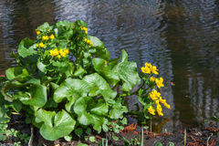 Marsh Marigold Stock Photo