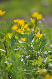 Marsh marigold Royalty Free Stock Photography