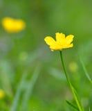 Marsh Marigold eller Kingcup - Calthapalustris - closeup Royaltyfria Foton
