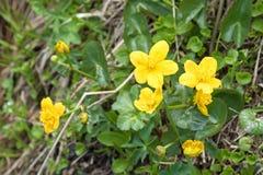 Marsh Marigold fiorisce nella crescita gialla sul fiore bagnato del terreno boscoso Fotografia Stock