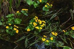 Marsh Marigold Fleur de source Photo libre de droits