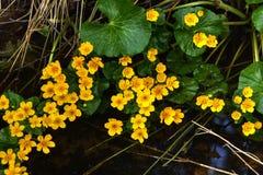 Marsh Marigold Flor da mola Imagem de Stock Royalty Free