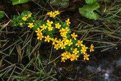 Marsh Marigold Flor del resorte Fotos de archivo