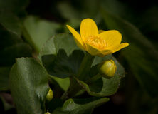 Marsh Marigold Royalty Free Stock Image