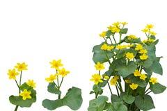 Marsh Marigold Flower Plant arkivbilder