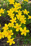 Marsh Marigold flowers Royalty Free Stock Photography