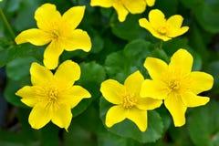 Marsh Marigold flowers Stock Photography