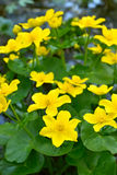 Marsh Marigold flowers Royalty Free Stock Images