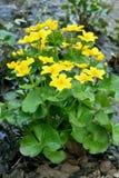 Marsh Marigold flowers Stock Images