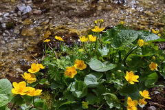Marsh Marigold flowers (Caltha palustris) is sign of spring Stock Images