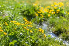 Marsh marigold flowers Caltha palustris and small mountain str Royalty Free Stock Photo