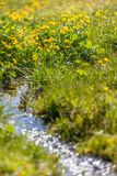Marsh marigold flowers Caltha palustris and small mountain str Royalty Free Stock Images