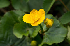 Marsh marigold. Flowers of marsh marigold on the green background Stock Image