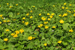 Marsh marigold flowers Stock Photos