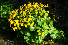 Marsh marigold flowers Stock Photo