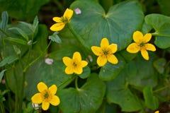 Marsh Marigold flowers Royalty Free Stock Photos
