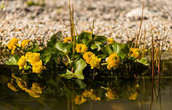 Marsh-marigold in a garden pond Royalty Free Stock Image