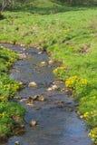 Marsh marigold Royalty Free Stock Photos
