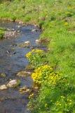 Marsh marigold Stock Image