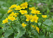 Marsh Marigold. Or Kingcup - Caltha palustris royalty free stock image